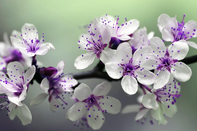 blossom 800 72